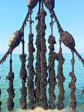 Récolte des moules de filière